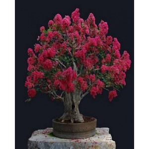 Bonsai Red Crepe Myrtle Seeds-CREDTY