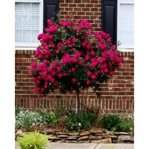Red Rose Tree Seeds-WART01
