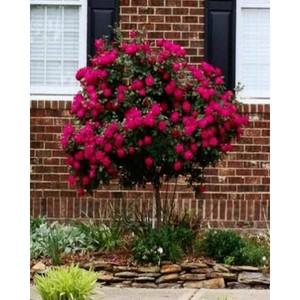 Red Rose Tree Seeds-WART01
