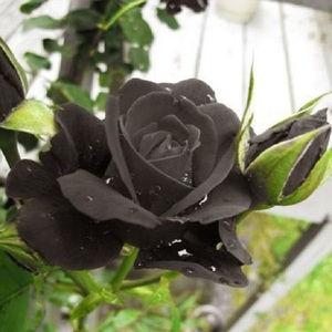 Bonsai Black Rose Flower Seeds
