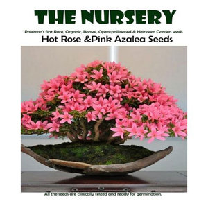 Bonsai Hot Rose & Pink Azalea Seeds