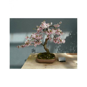 Pink Bonsai Japanese Sakura Seeds