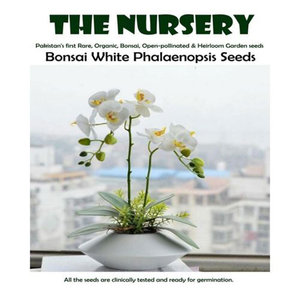 Bonsai White Phalaenopsis Seeds