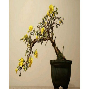 Bonsai Yellow Jasmine Tree Seeds