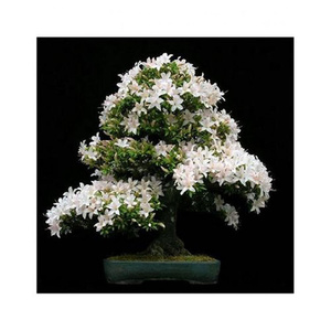 Bonsai Jasmine Seeds