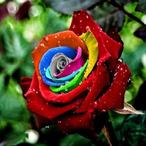 Bonsai Holland Rainbow Color Rose Seeds