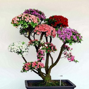 Bonsai Azalea Multi Color Seeds