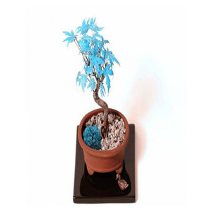 Bonsai Sky Blue Maple Seeds