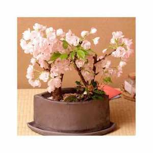 Cherry Bonsai Tree Seeds