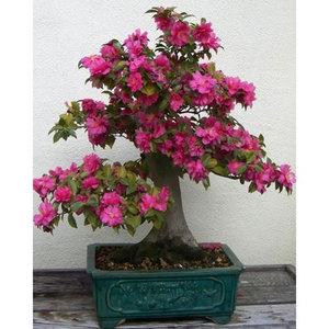 Bonsai Pink Camellia Seeds