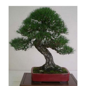 Pine Thunbergii Bonsai Tree Seeds