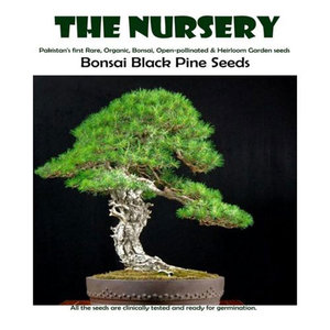 Bonsai Black Pine Seeds