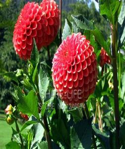 Red Flower Bonsai Seeds -20 Seeds