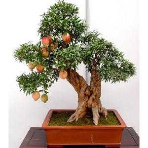 Bonsai Pomegranate Seeds Sweet Delicious Fruit
