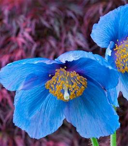 Beautiful Bonsai Poppy Seeds- Blue