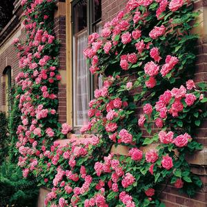 Rare Climbing Rose Seeds - Pink Color