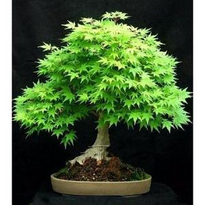 Rare Bonsai Green Maple Seeds