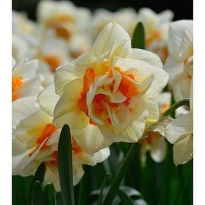 Beautiful Narcissus Flower Balcony Plant Seeds-White Orange