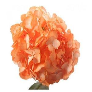 Rare Hydrangea Seeds- Orange