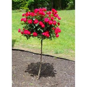 Double Red Yellow Rose Tree Seeds