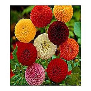 FlairBeautiful Perennial Dahlia Bonsai Seeds Home Garden Pot Plants-20 Seeds - Sa
