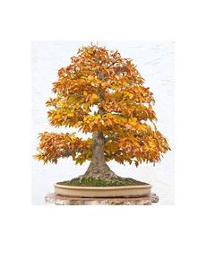 Bonsai Maple Seeds, Orange Color