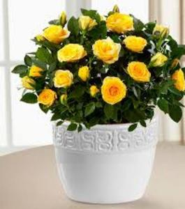 Bonsai Miniature Rose Seeds- Yellow
