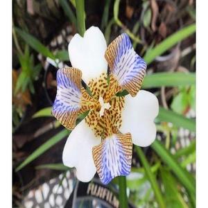 Neomarica Gracilis Flower Seeds