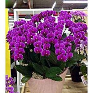 Bonsai SeedsPhalaenopsis Orchid Seeds Purple