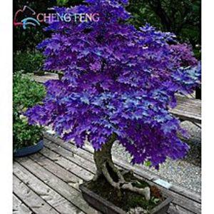 Mahogany SeedsJapanese Purple Maple Bonsai Tree Seeds