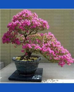 2 Pcs Sakura Tree Seeds for  for Bonsai and Home Garden / Indoor Plant / Outdoor Plants