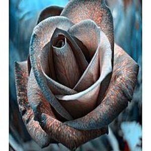 Bonsai SeedsRare Black Design Rose Imported Seeds