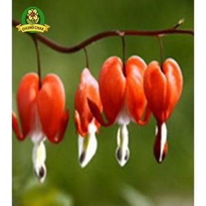 Bleeding Heart Flower Seeds Dicentra Spectabilis Orange