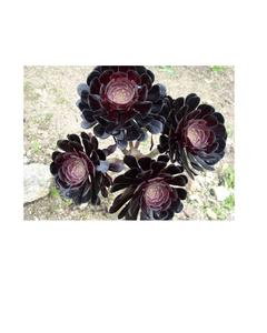 Black Master Succulent Seeds - Succulent Plant Bonsai Pottet Plants, Cactus Family