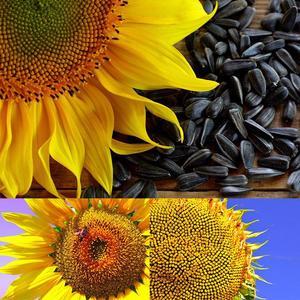 1Pack Sunflower Seeds Flower Bonsai Potted Plants Helianthus Annuus For Garden