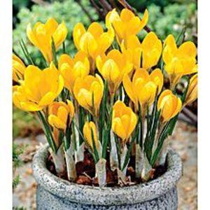 Bonsai SeedsYellow Saffron Seeds Bonsai Garden Flowers