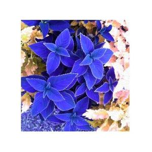 Beautiful Coleus Flower Seeds - Bonsai Flower Potted Plant - Blue Color
