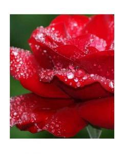 Red Rose Seeds Bonsai
