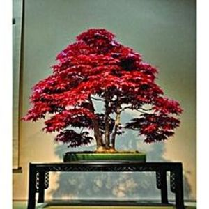Bonsai SeedsJapanese Red Maple Bonsai Tree Seeds Home Gardening
