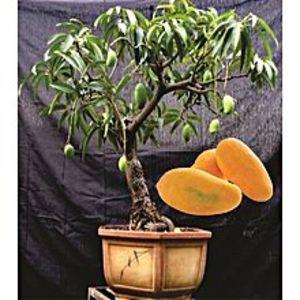 Bonsai SeedsRare Bonsai Mango Seeds