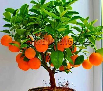 Bag Bonsai Orange Potted Edible Tangerine Citrus Fruit Dwarf Orange Tree Seeds  Indoor Plant For Home Garden plants - 20 Pcs