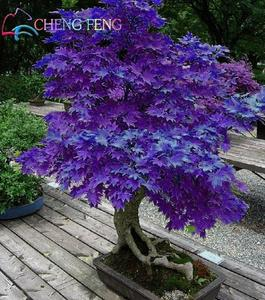 Japanese Purple Maple Bonsai Tree Seeds
