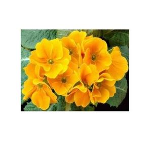 Original Primula Primrose Seeds - Indoor Blooming Bonsai Flower - Yellow Color