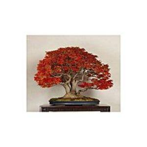 BaghbaanRed Japnese Maple Bonsai Tree Seeds
