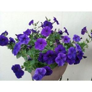 New 200PCS Morning Glory Seed Seeds Bonsai Flower Blue Garden Park Yard