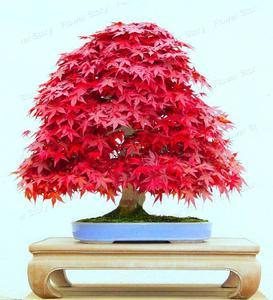 Red Bonsai Crape Myrtle Seeds