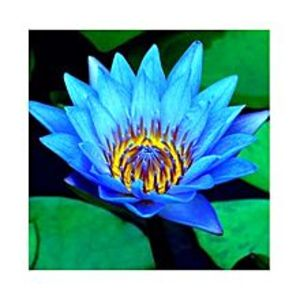MomentousBonsai Bowl Blue Lotus Seed - Aquatic Plants Flower Seeds - Pot Water Lily Seeds For Home Garden