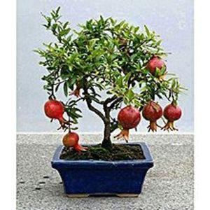 Mahogany SeedsBonsai Pomegranate Seeds