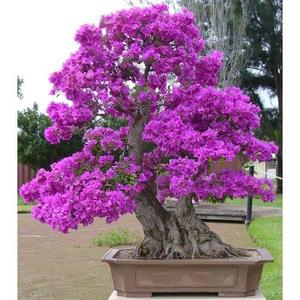 Bonsai Seeds Japanese Lilac Seeds (Extremely Fragrant)