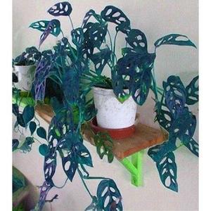 Bonsai Monstera Turtle Leaves-Blue